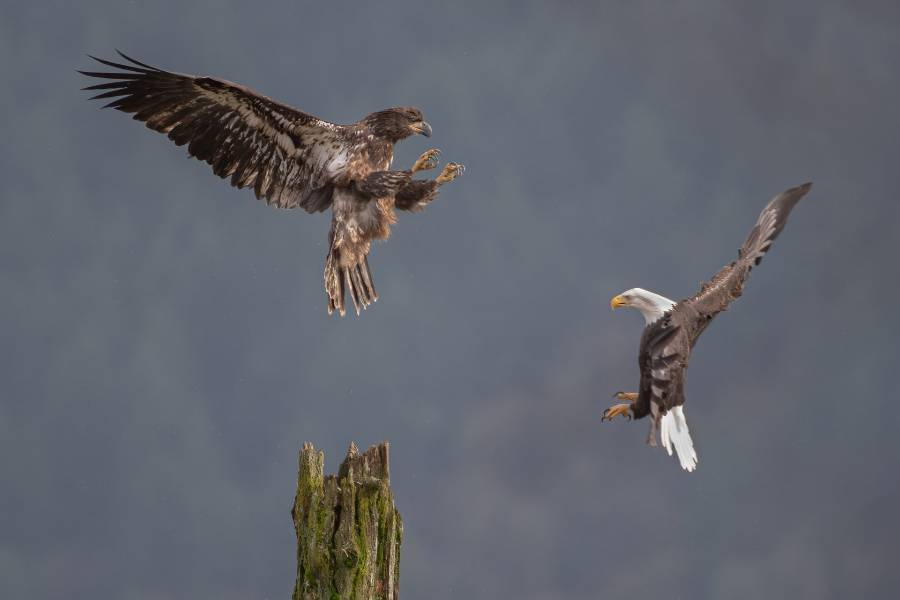 Two Eagles At Harrison River